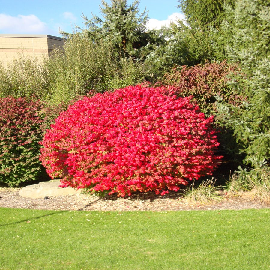 2-Gallon Insignificant Dwarf Burning Bush