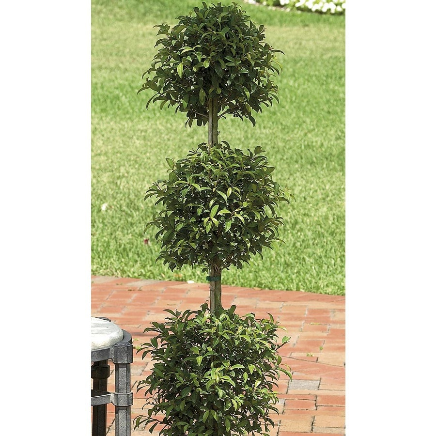 5.5-Gallon Eugenia Topiary (L20938hp)