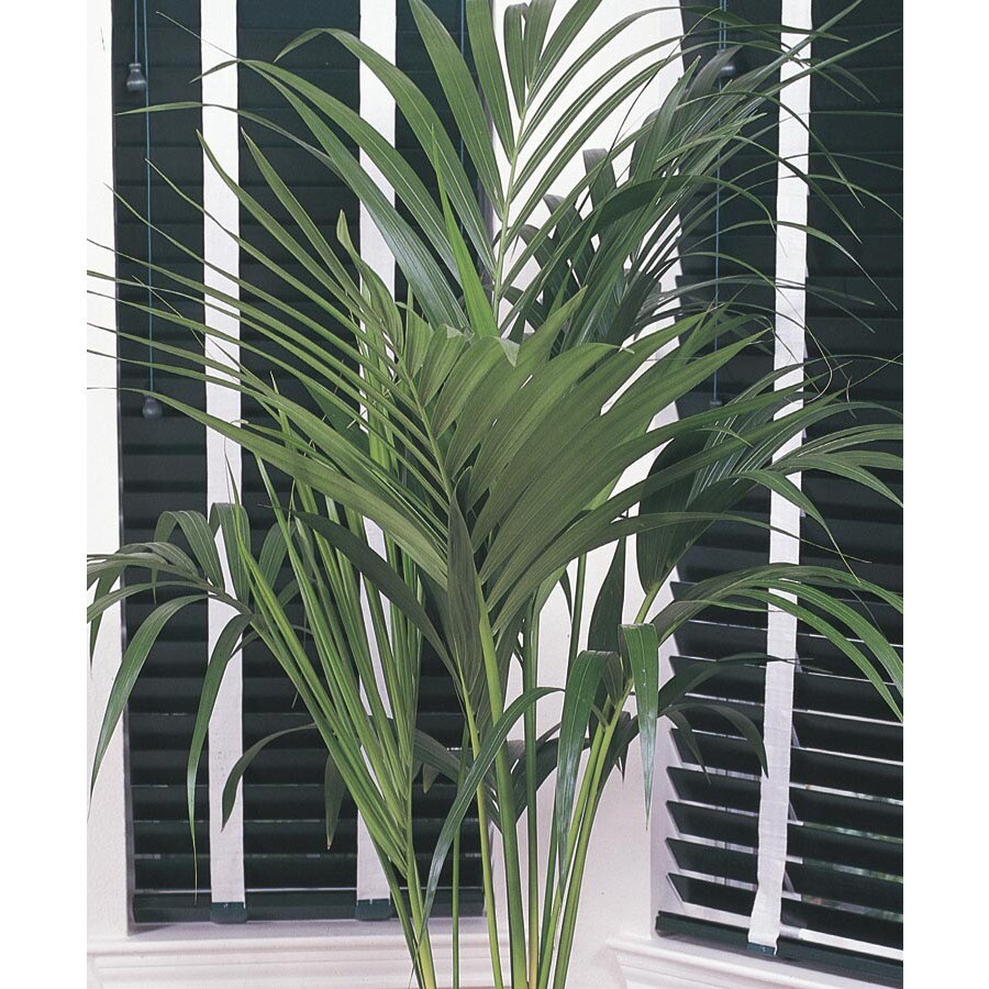 5.5-Gallon(s) Kentia Palm (L9408hp)