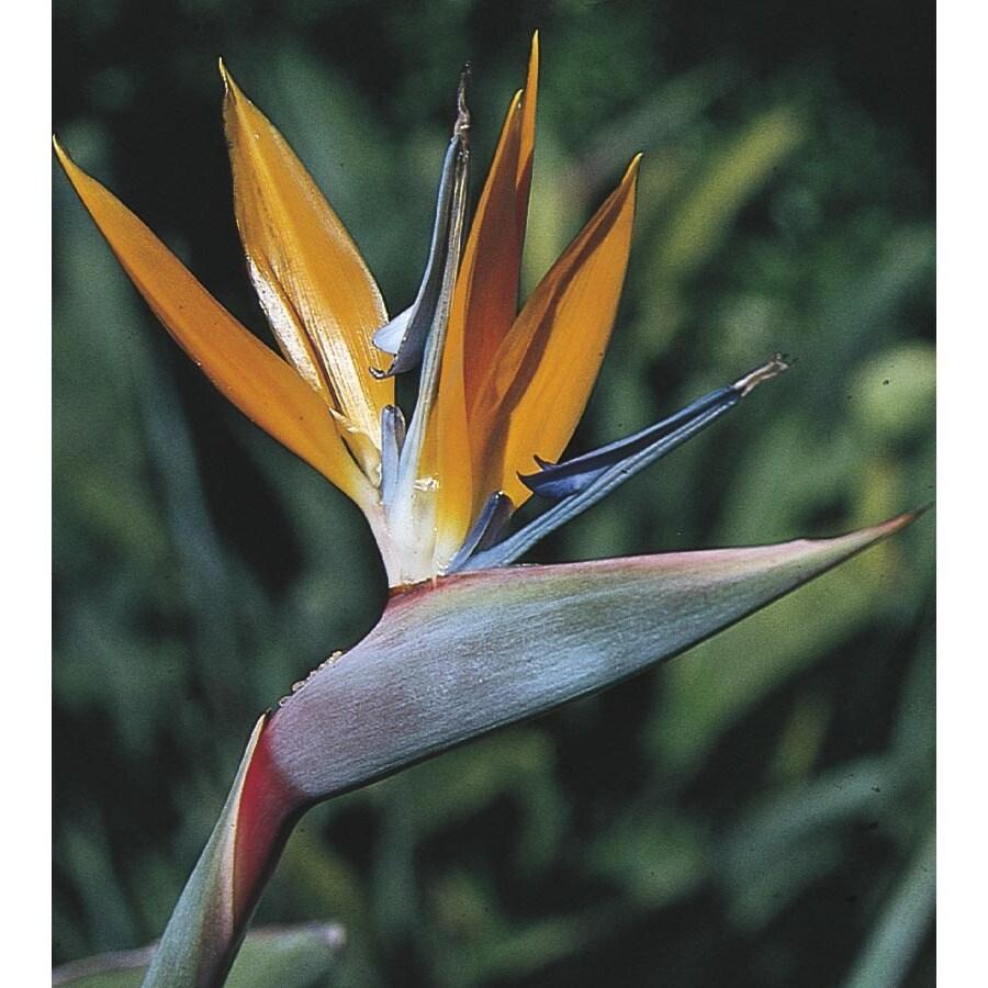 12.33-Gallon Mixed Bird of Paradise Flowering Shrub (L3068)