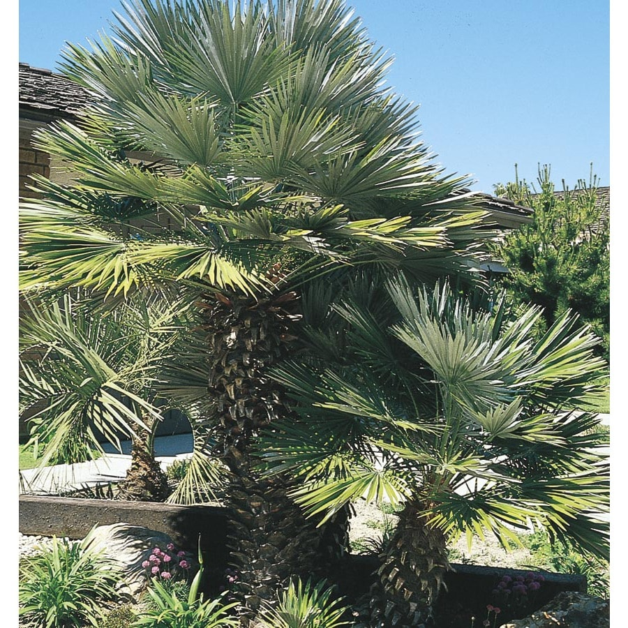 24.2-Gallon European Fan Palm (L9064)