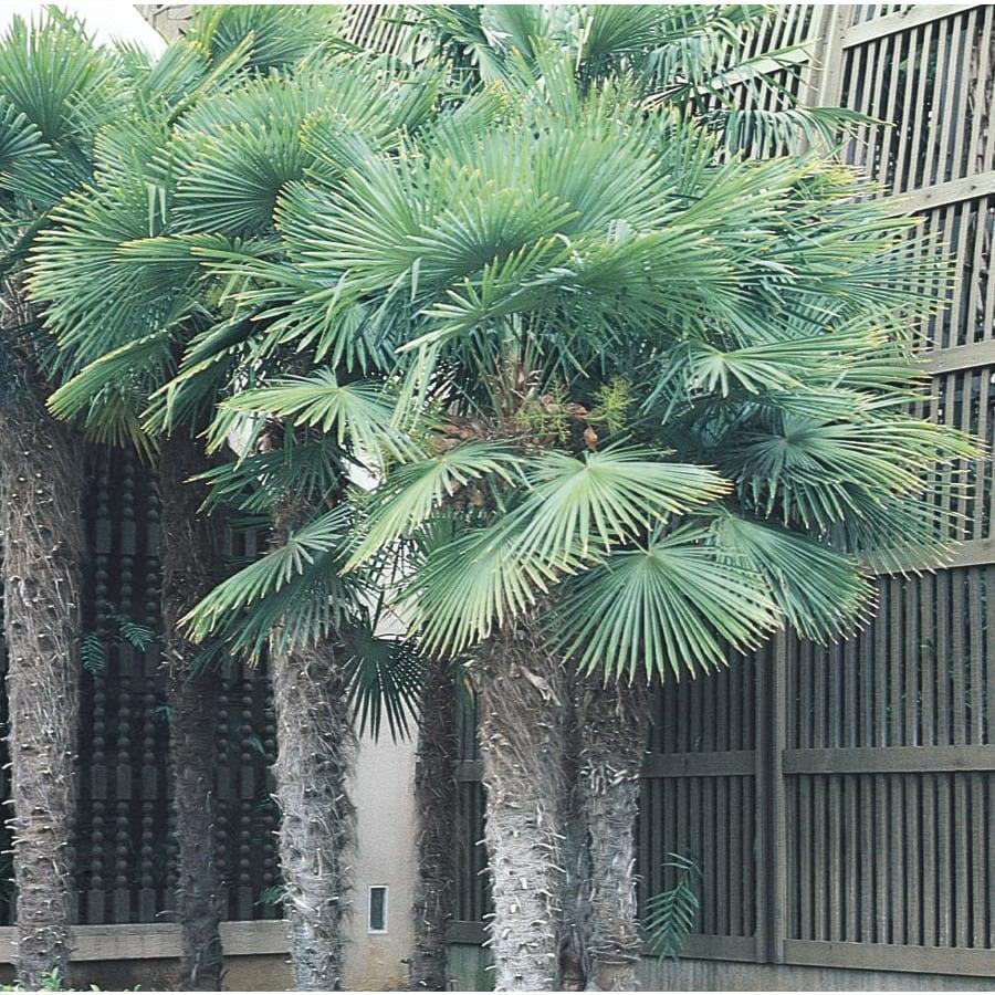 25.14-Gallon Chinese Windmill Palm (L8803)