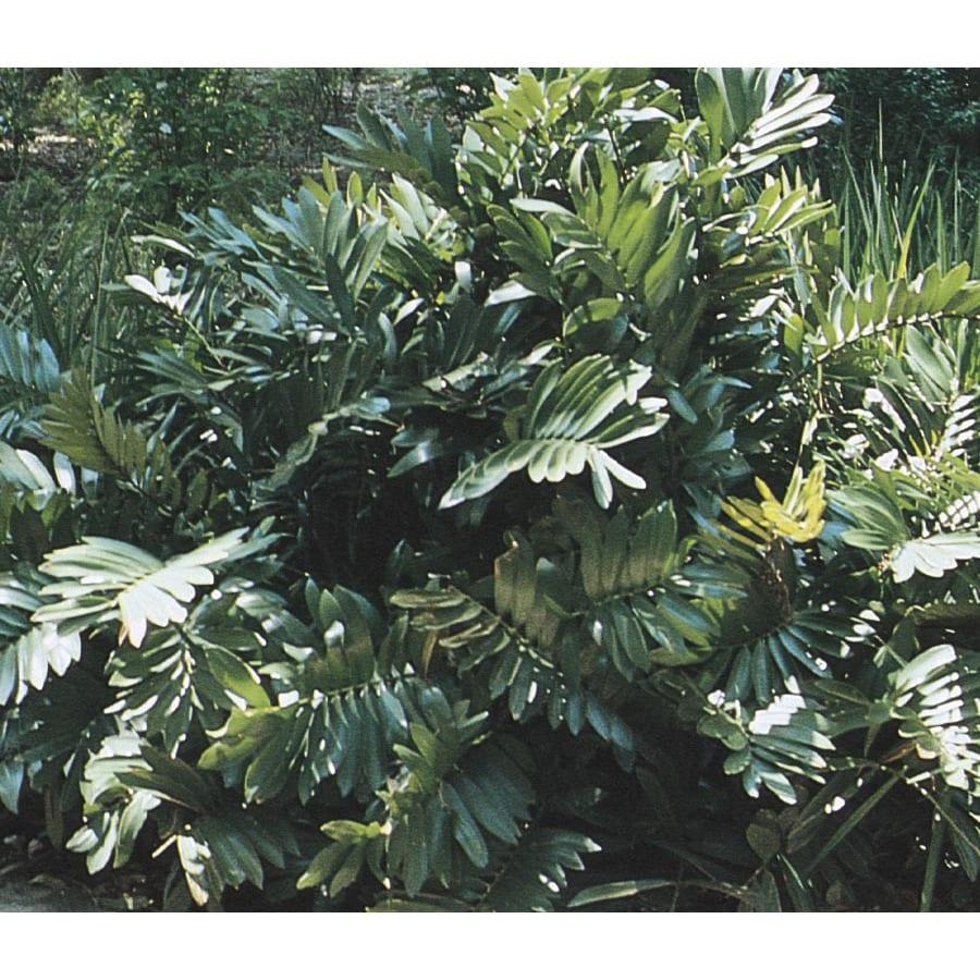 Cardboard Palm (L6926)