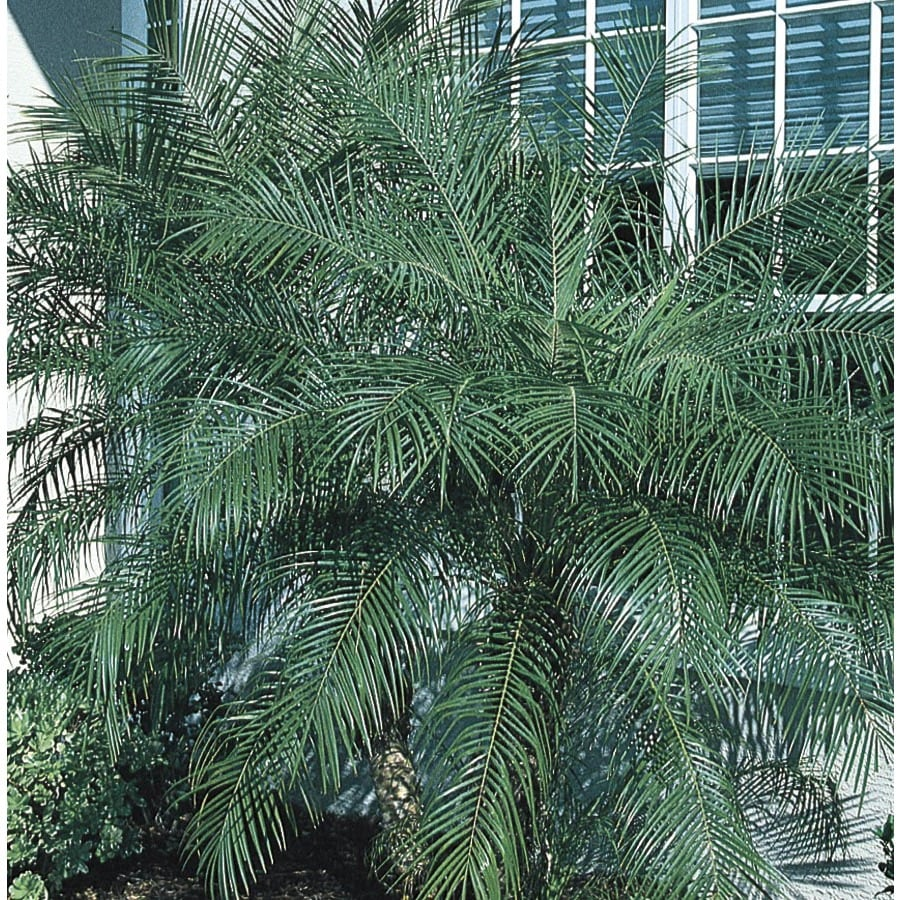 2.33-Gallon Pygmy Date Palm (LTL0059)