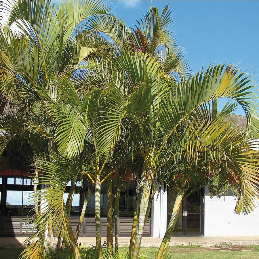 Shop areca palm feature tree ltl0010 at for Pictures of areca palm plants