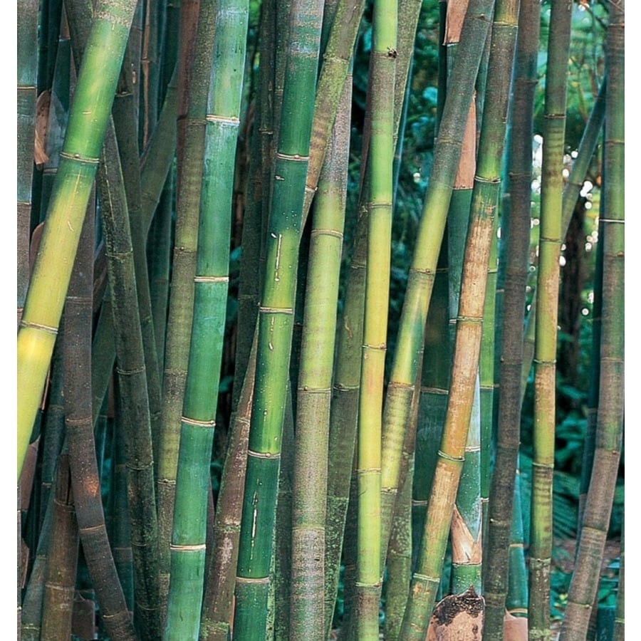 11.1-Gallon Timber Bamboo Accent Shrub (L14751)