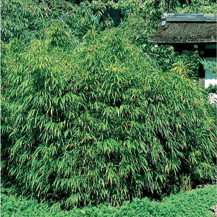 11.1-Gallon Alphonse Karr Bamboo Accent Shrub (L7481)
