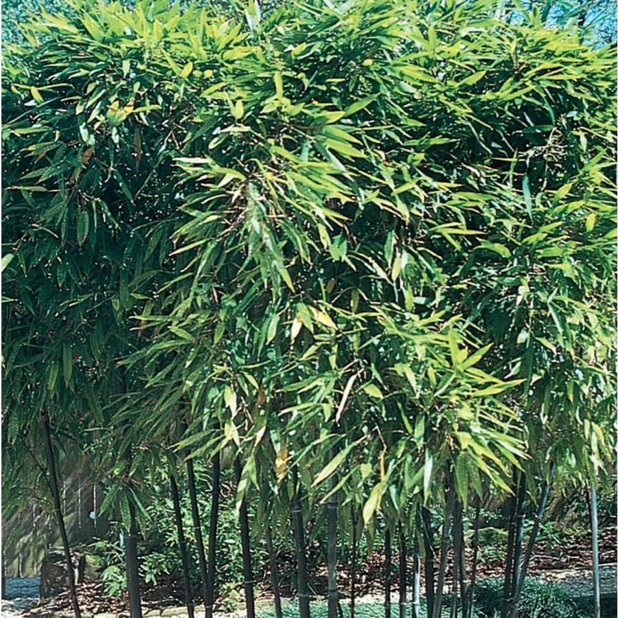 11.1-Gallon Black Bamboo Accent Shrub (L14593)