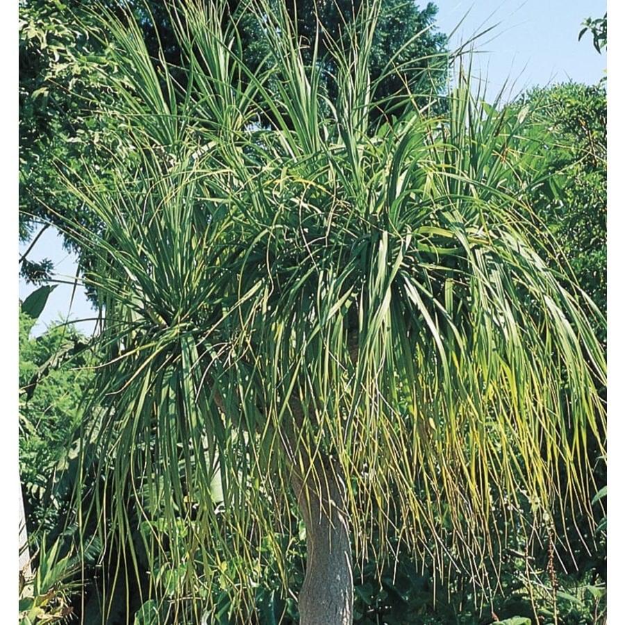 5.75-Gallon White Ponytail Palm Feature Shrub (L9998)