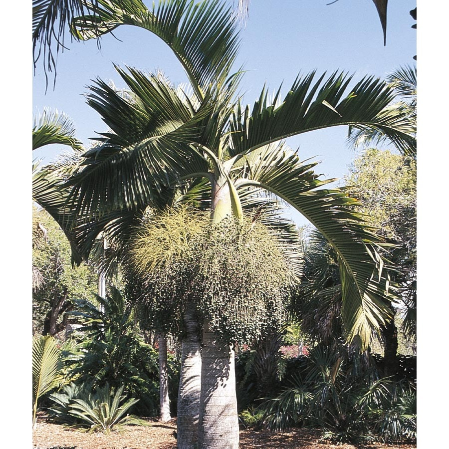 3.25-Gallon Bottle Palm (L14512)