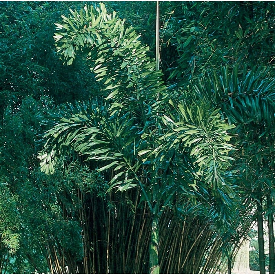 2.25-Gallon Foxtail Palm (L14531)