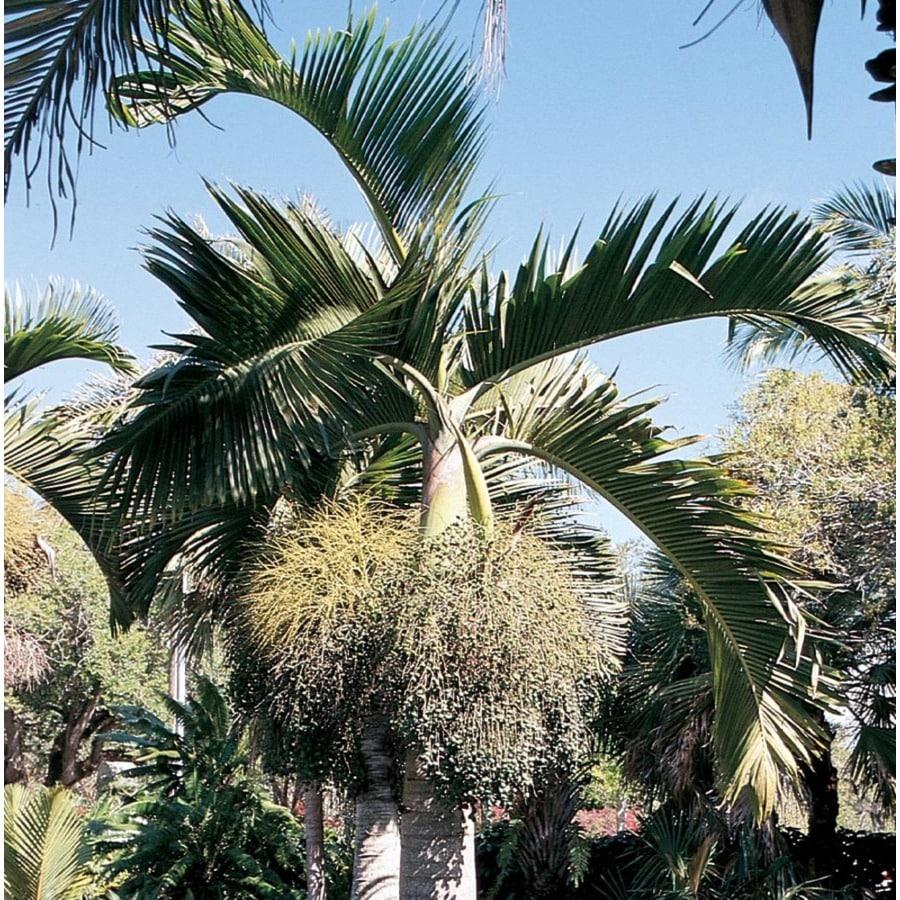 6.08-Gallon Bottle Palm (L14512)