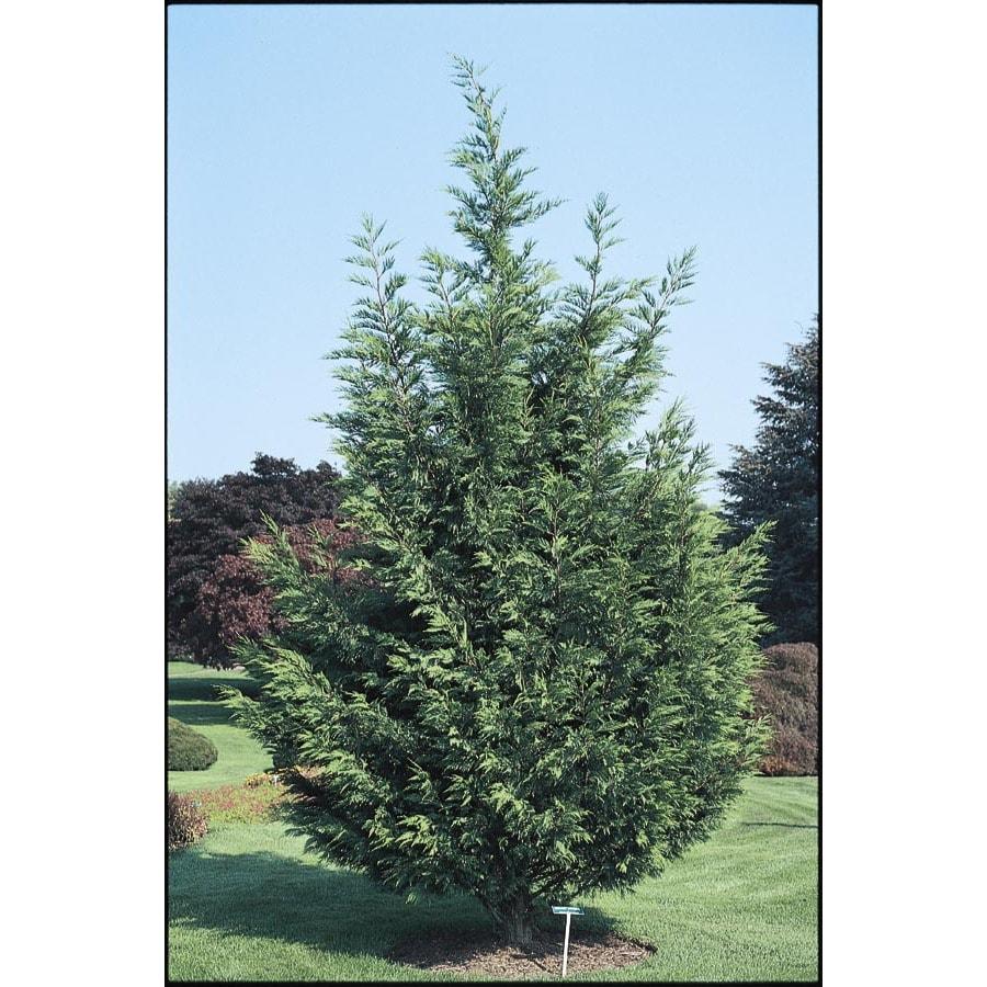 1.5-Gallon Leyland Cypress Screening Tree (L3153)