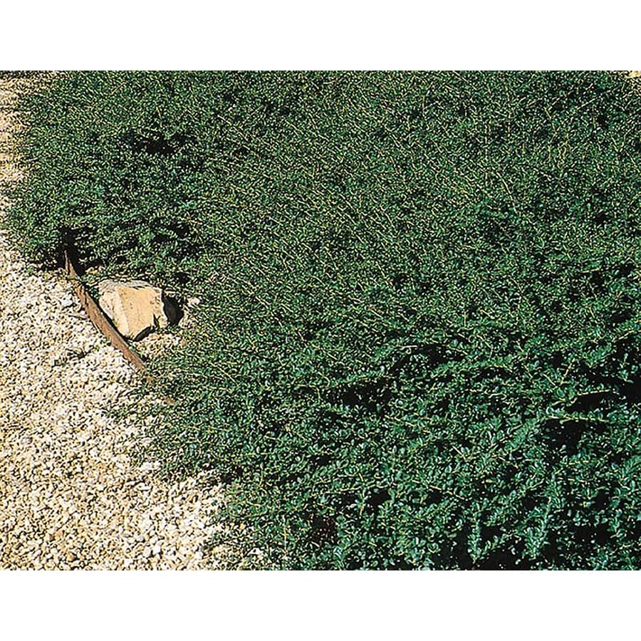 2.5-Quart Green Luster Holly Foundation/Hedge Shrub (L2559)