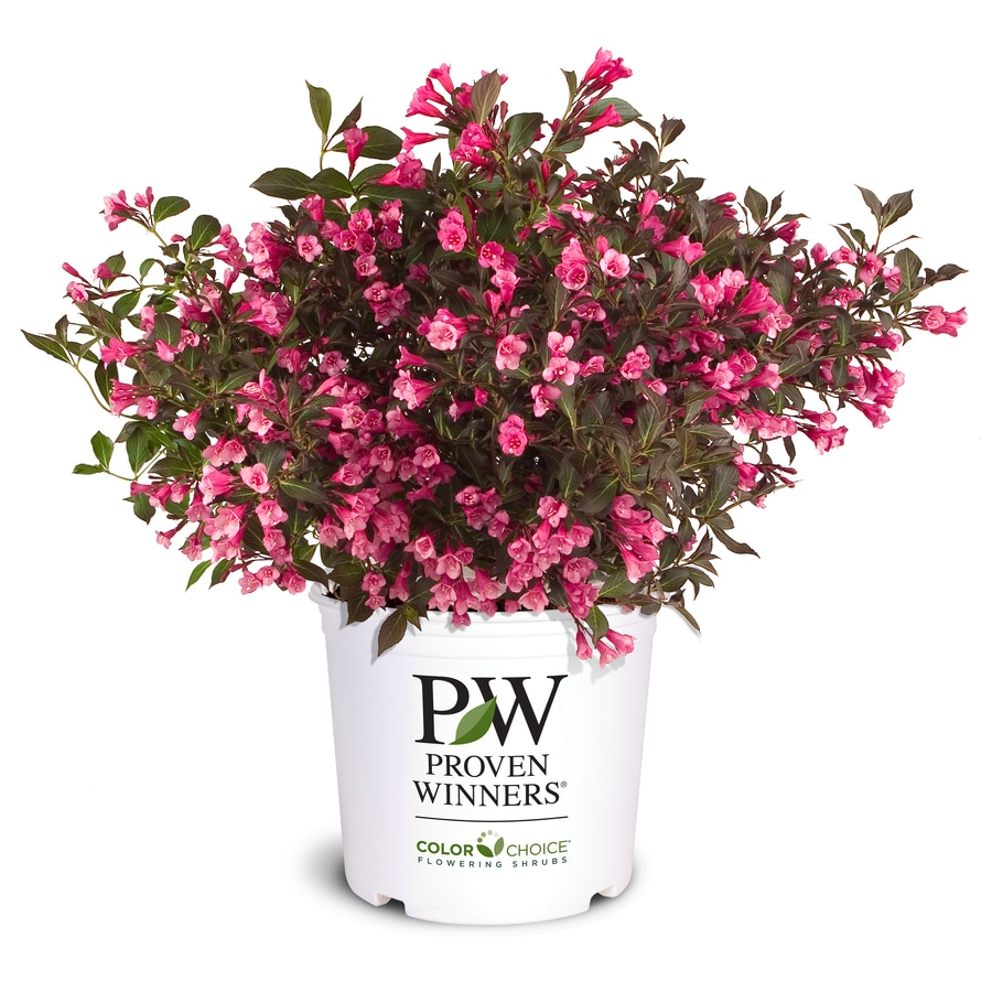 3-Gallon Pink Wine and Roses Weigela Flowering Shrub