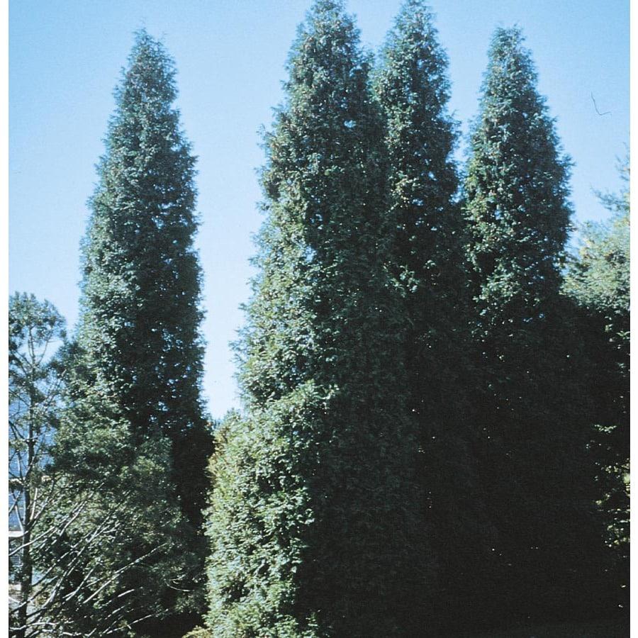 3.25-Gallon Green Giant Arborvitae Screening Shrub (LW01577)