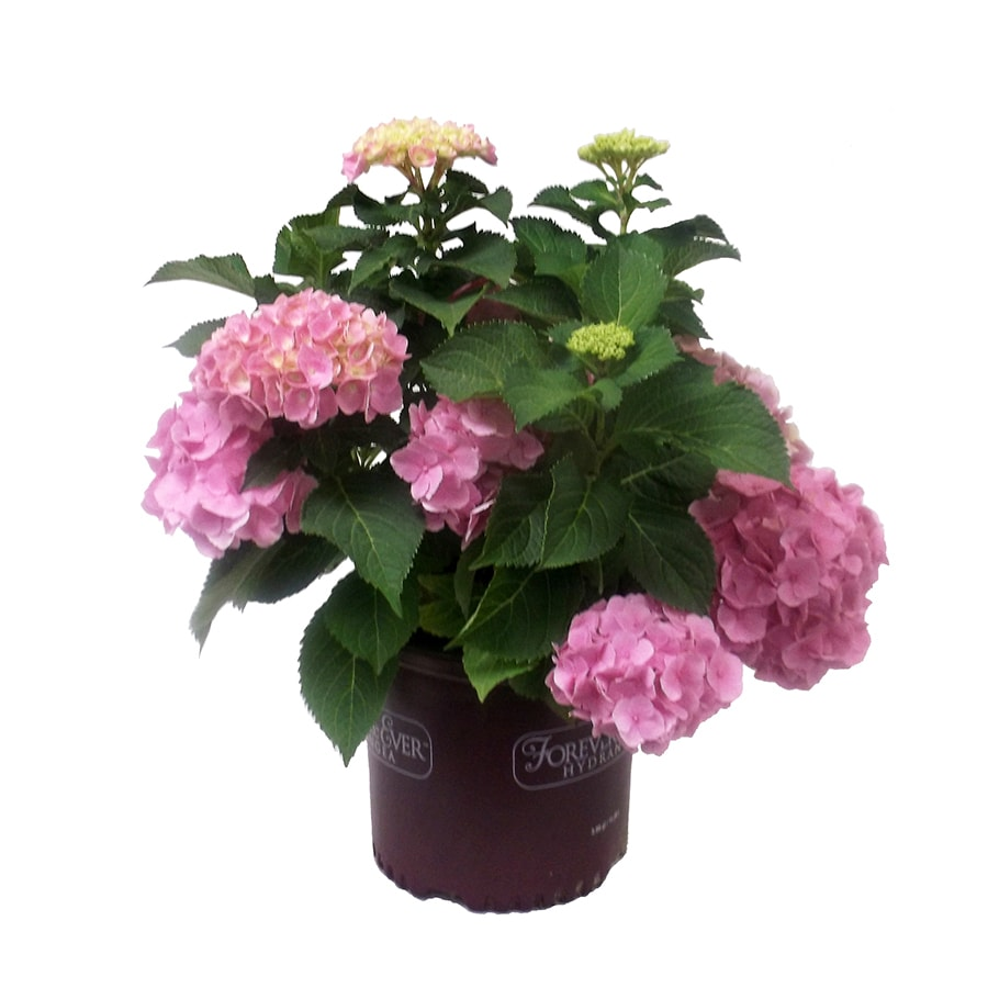 3-Gallon Mixed Hydrangea Flowering Shrub