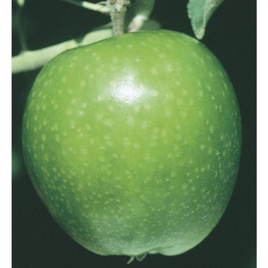 3.74-Gallon Granny Smith Apple Tree (L3198)