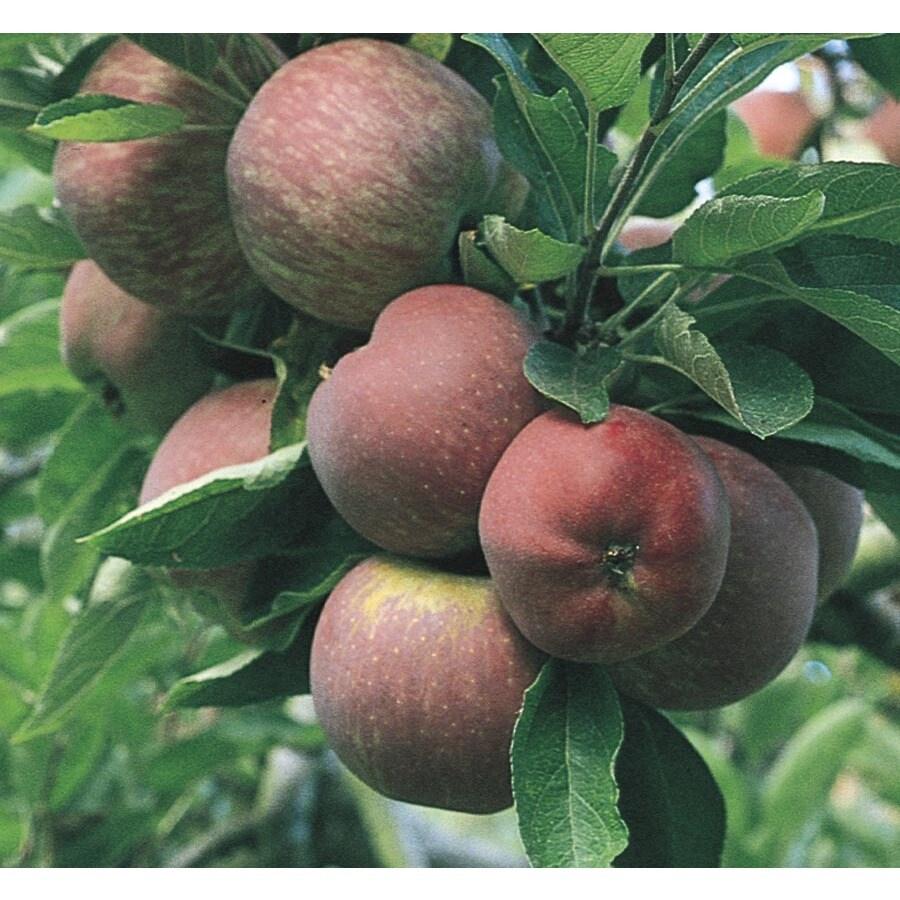 3.74-Gallon Red Delicious Dwarf Apple Tree (L1320)