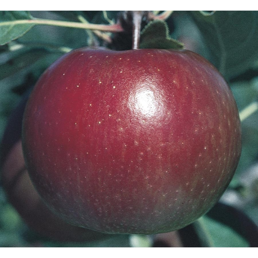 3.74-Gallon Fuji Apple Tree (L10470)