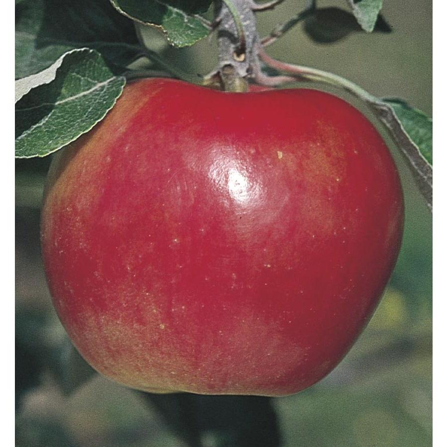 3.74-Gallon Winesap Apple Tree (L1270)