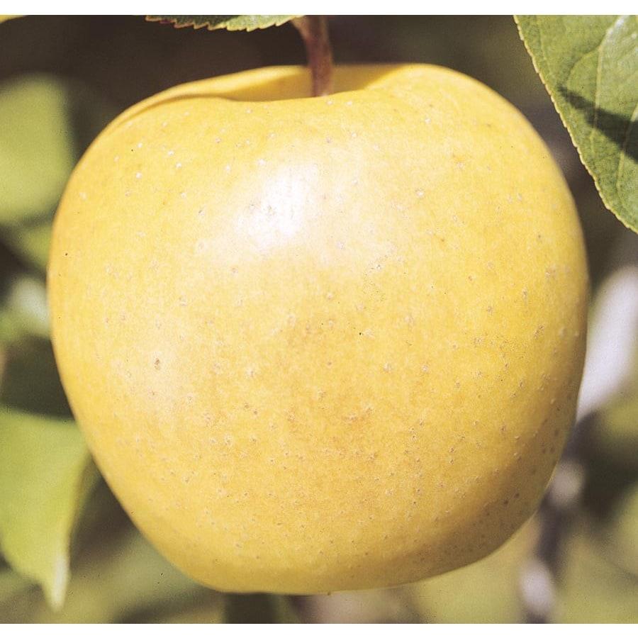 3.74-Gallon Yellow Delicious Apple Tree (L3207)