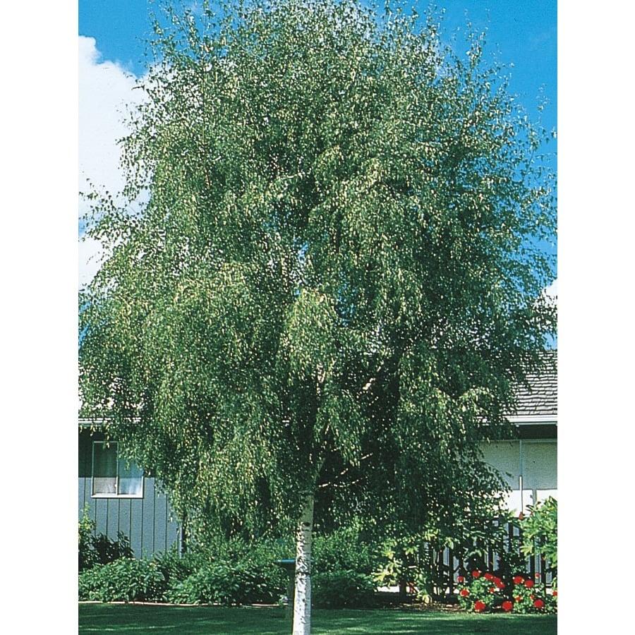 3.74-Gallon European White Birch Feature Tree (L1050)