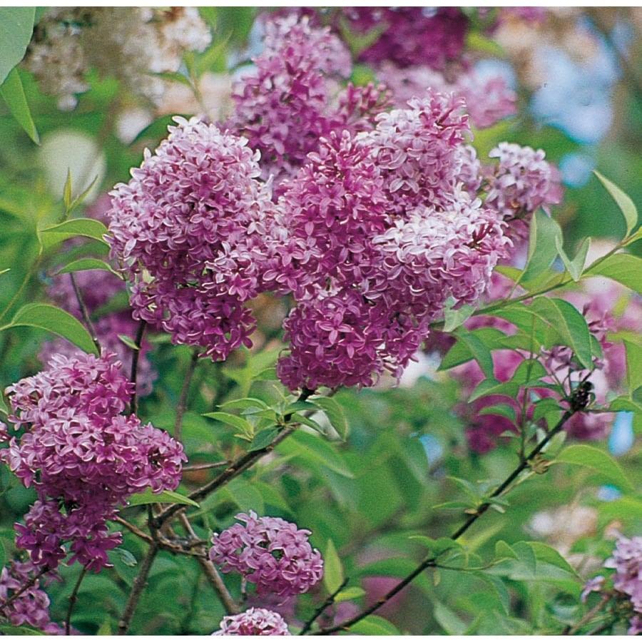 2.25-Gallon Lavender Persian Lilac Flowering Shrub (L3811)
