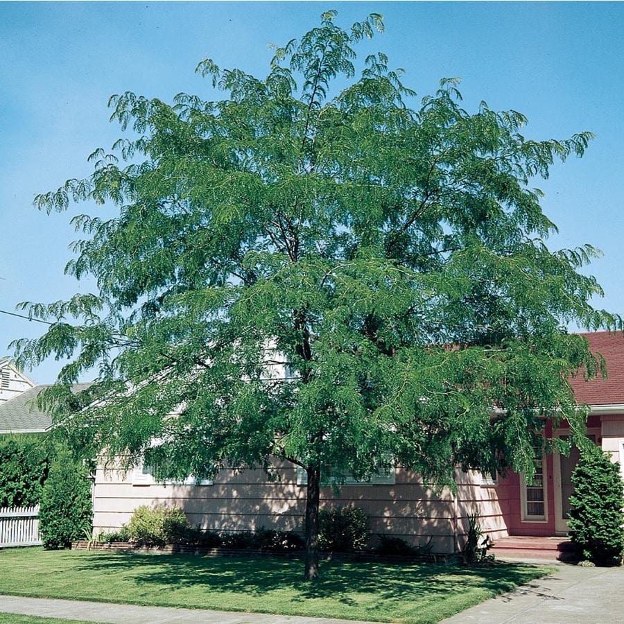 3.74-Gallon Thornless Honeylocust Shade Tree (L4491)