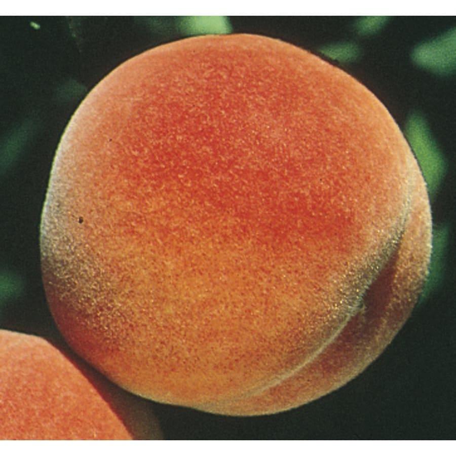 3.74-Gallon Red Haven Peach Tree (L1342)