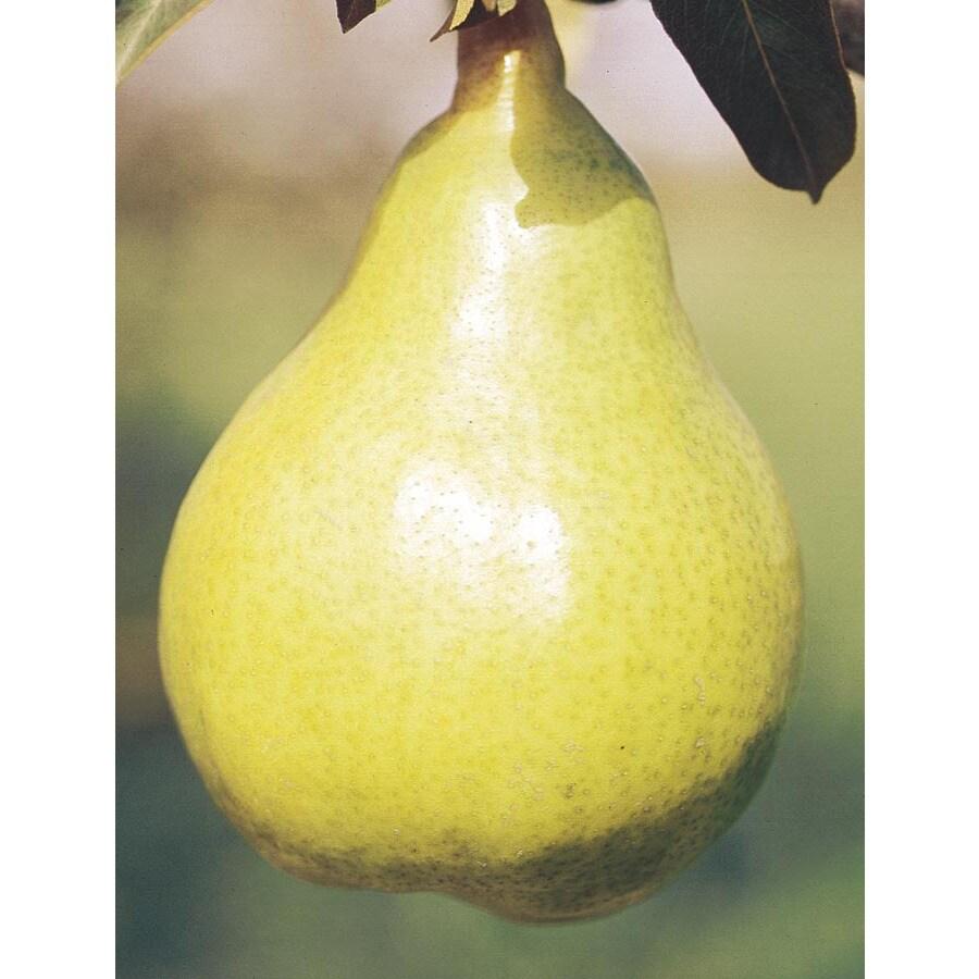 3.74-Gallon Bartlett Pear Tree (L1386)