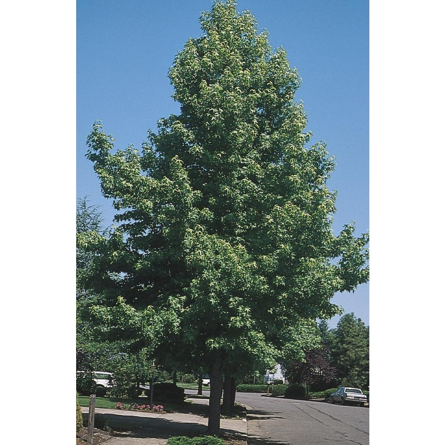 3.74-Gallon Seedless Sweetgum Shade Tree (L1133)