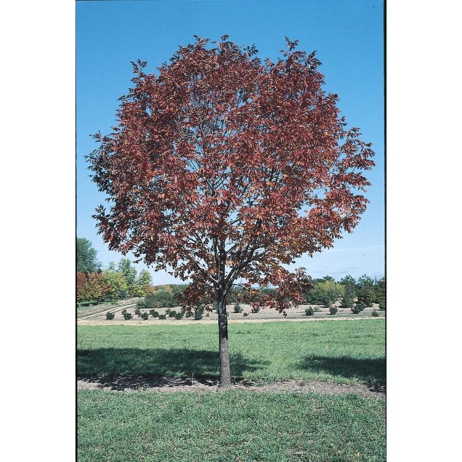 3.25-Gallon Autumn Applause Ash Shade Tree (L1141)