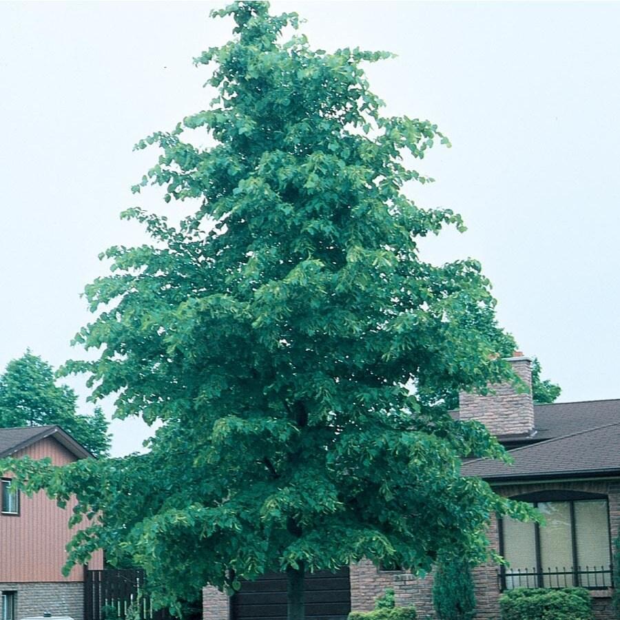 3.74-Gallon Littleleaf Linden Shade Tree (L6140)