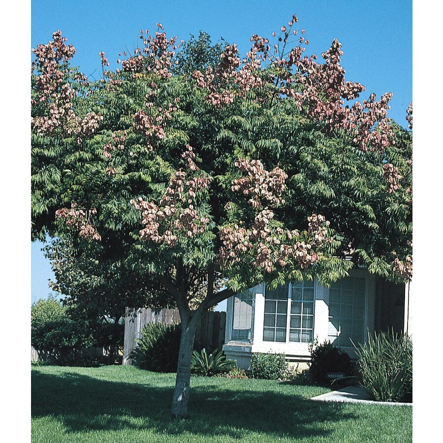 3.74-Gallon Golden Raintree Feature Tree (L1159)