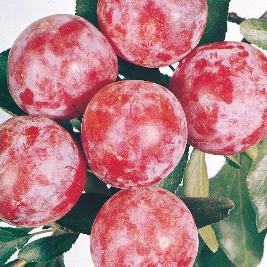 6.23-Gallon Santa Rosa Semi-Dwarf Plum Tree (L3664)