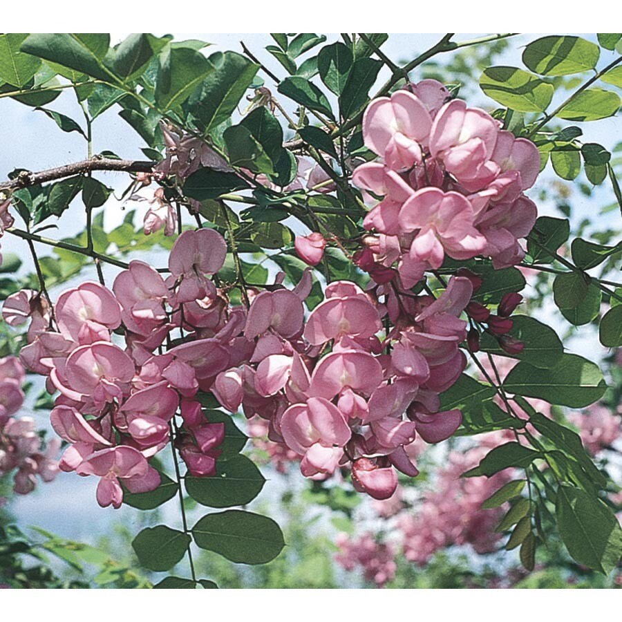 3.74-Gallon Purple Robe Locust Flowering Tree (Lw01513)