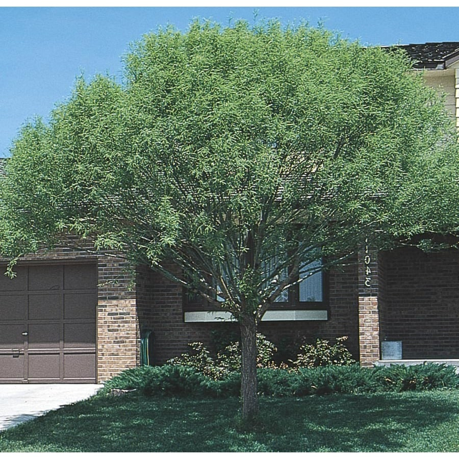 19-Gallon Globe Willow Shade Tree (L1412)