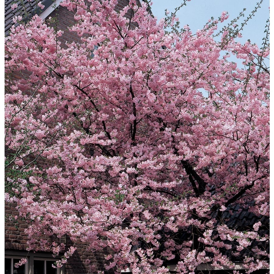 19.5-Gallon Kwanzan Flowering Cherry Flowering Tree (L1023)