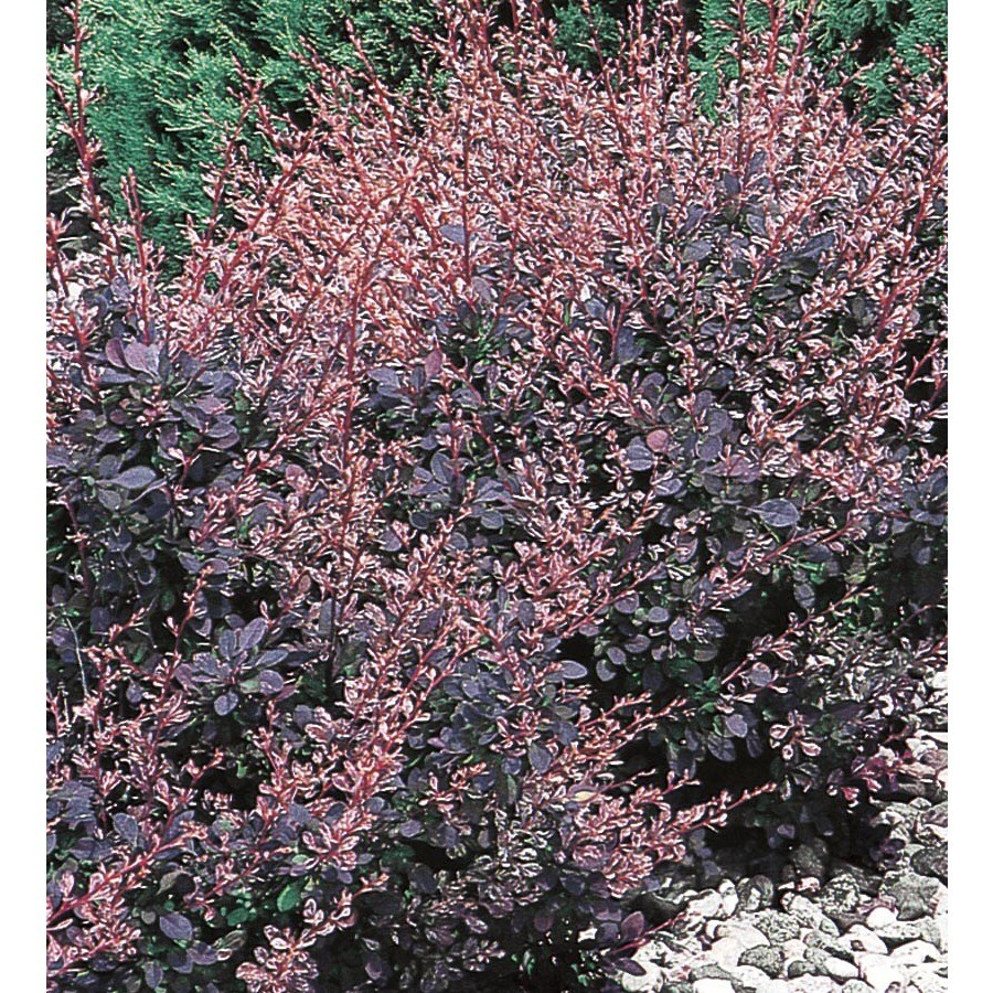 3.63-Gallon Rose Glow Barberry Accent Shrub (L3442)