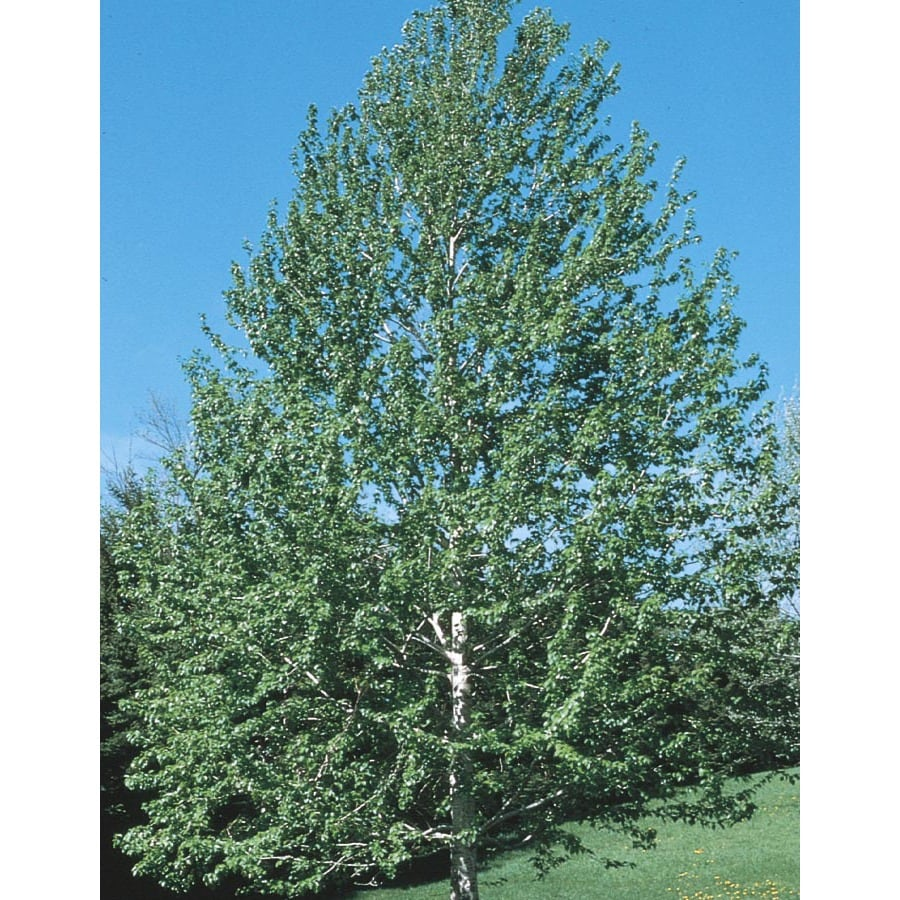 3.63-Gallon Lanceleaf Cottonwood Shade Tree (L11767)