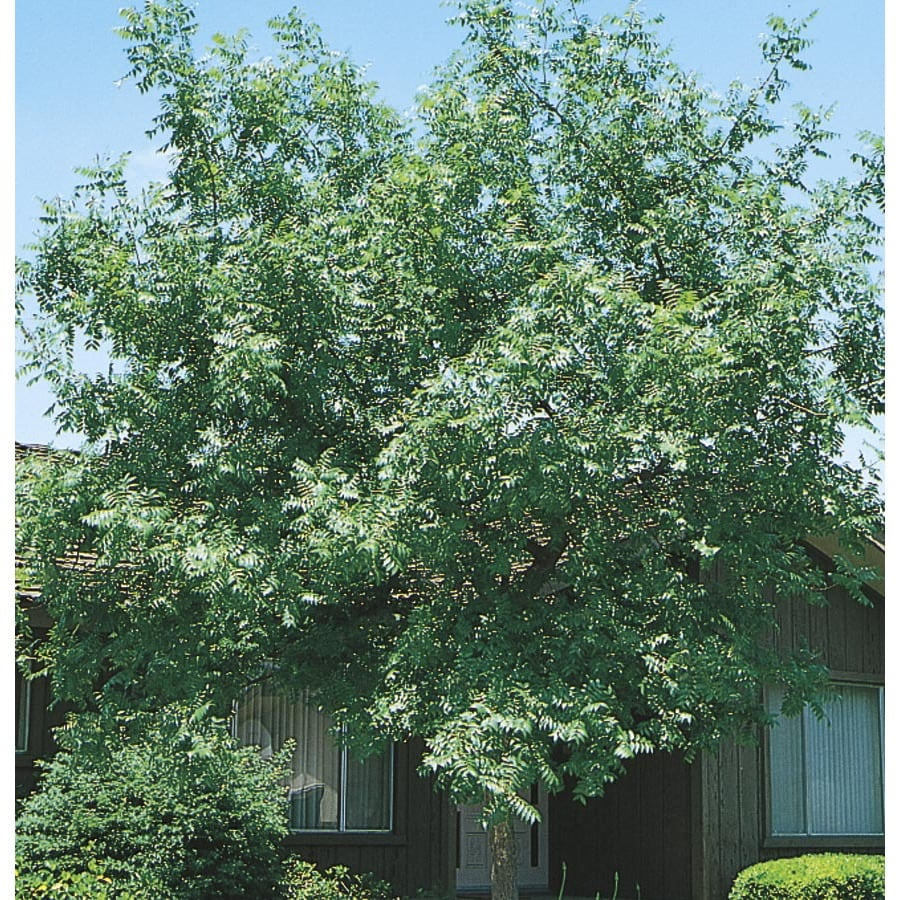 3.74-Gallon Chinese Pistache Shade Tree (L1089)