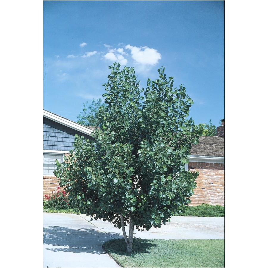 3.25-Gallon Quaking Aspen Clump Shade Tree (L11832)