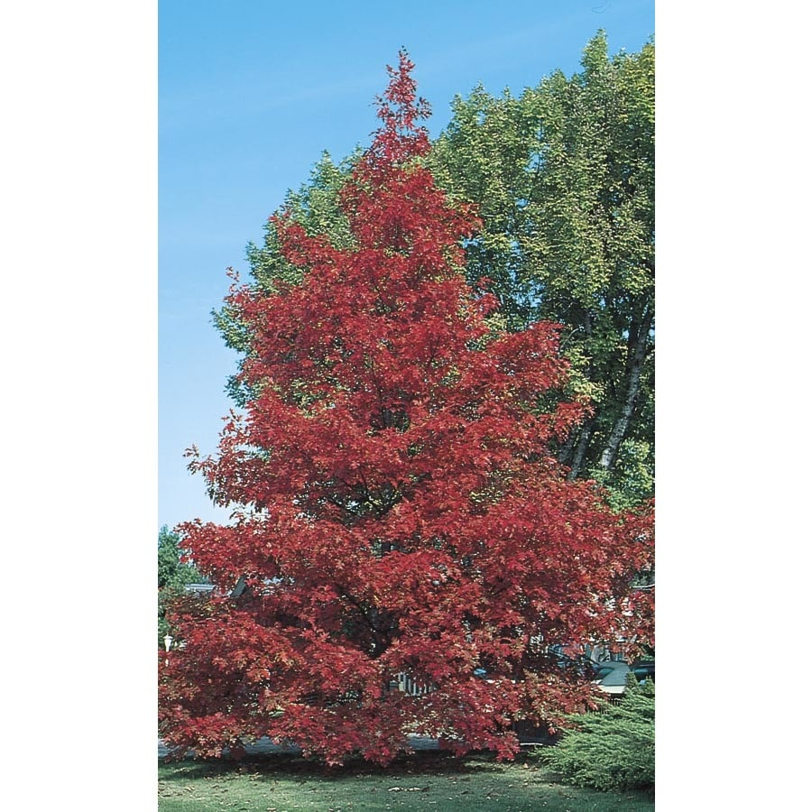 10.25-Gallon Red Oak Shade Tree (L7669)