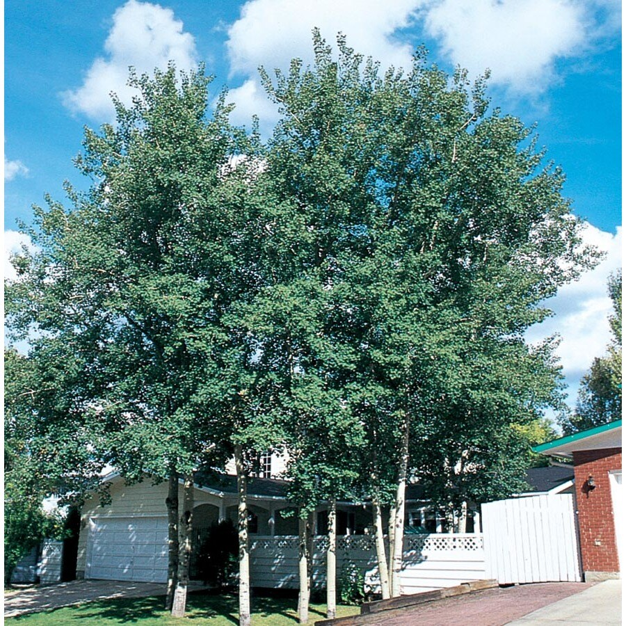10.25-Gallon Trembling Aspen Shade Tree (L4358)