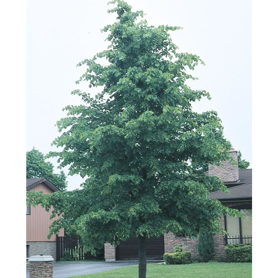 12.68-Gallon Littleleaf Linden Shade Tree (L6140)