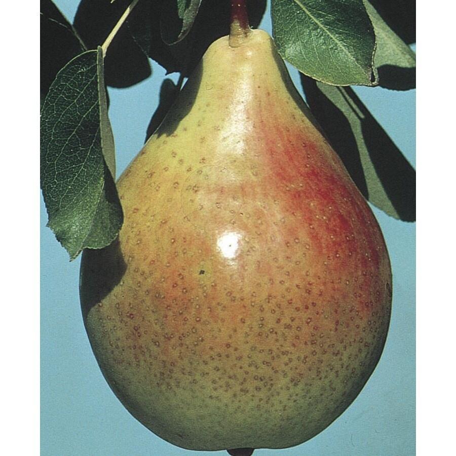 Ayers Dwarf Pear (L3854)