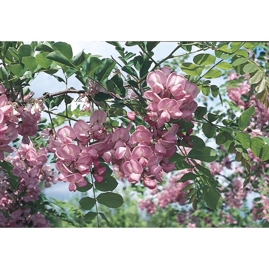 5.5-Gallon Purple Robe Locust Flowering Tree (LW01513)