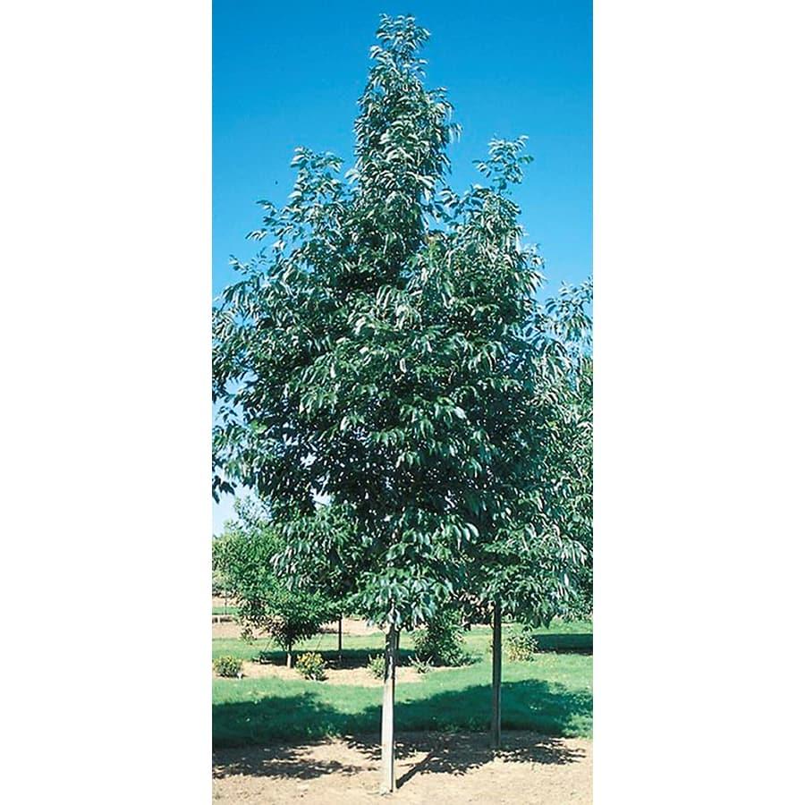 10.25-Gallon Urbanite Ash Shade Tree (L14296)