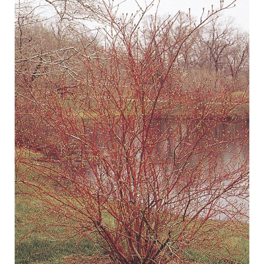 3.63-Gallon White Red Twig Dogwood Accent Shrub (L5979)